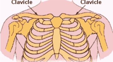 Normal Clavicle