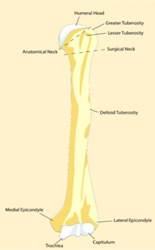 The Normal Humerus